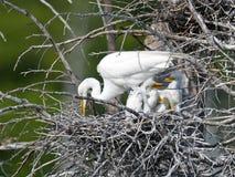 伟大的白鹭和小鸡 库存照片