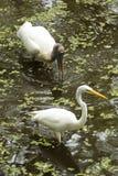 伟大的白鹭和趟过在佛罗里达沼泽地的木鹳 免版税图库摄影