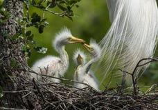 伟大的白鹭在北佛罗里达 图库摄影