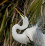 伟大的白鹭在北佛罗里达 免版税库存照片