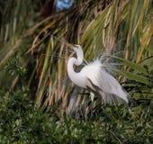 伟大的白鹭在北佛罗里达 免版税图库摄影