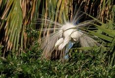 伟大的白鹭在北佛罗里达 免版税库存图片