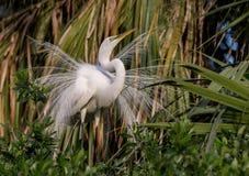 伟大的白鹭在北佛罗里达 库存照片