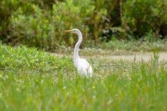 伟大的白鹭在沼泽在好日子 库存照片