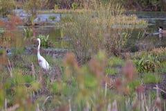 伟大的白鹭在沼泽地 库存图片