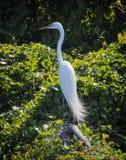 伟大的白鹭在路易斯安那 免版税图库摄影