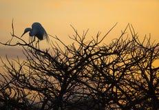 伟大的白鹭日出栖息处 库存图片