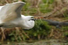 伟大的白鹭用春天巢的一根棍子在乔治亚 库存图片