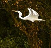 伟大的白鹭的天使飞行 图库摄影