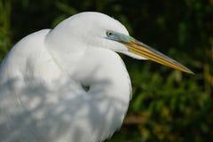 伟大的白鹭的特写镜头在繁殖的全身羽毛-佛罗里达的 库存图片