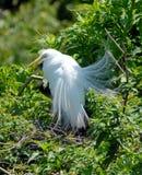 伟大的白鹭繁殖的全身羽毛 免版税库存图片