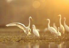 伟大的白鹭群  免版税库存图片