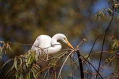 伟大的白鹭鸟,晨曲的Ardea 免版税图库摄影