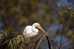 伟大的白鹭鸟,晨曲的Ardea 库存图片