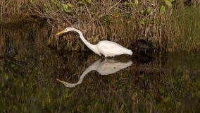 伟大的白鹭,光滑的朱鹭,梅里特岛全国野生生物Refug 免版税库存图片