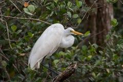伟大的白鹭,大赛普里斯全国蜜饯,佛罗里达 库存图片