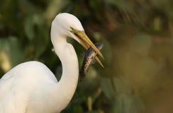 伟大的白鹭,晨曲的Ardea 免版税库存照片