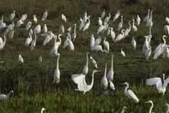 伟大的白鹭,晨曲的Ardea 库存照片