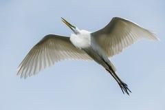 伟大的白鹭, Kissimmee,佛罗里达 图库摄影