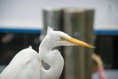伟大的白鹭-晨曲的Ardea,佛罗里达,美国 库存图片