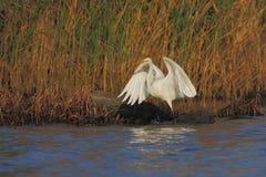 伟大的白鹭(晨曲的Ardea)。 免版税库存照片