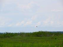 伟大的白鹭& x28; Ardea alba& x29;在沼泽 免版税库存照片