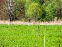 伟大的白鹭& x28; Ardea alba& x29;在沼泽 免版税库存图片