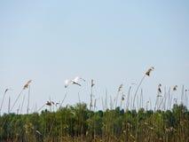伟大的白鹭& x28; Ardea alba& x29;在飞行中 免版税图库摄影