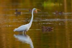 伟大的白鹭Ardea晨曲在有漂浮有些的鸭子的湖  免版税库存照片