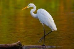 伟大的白鹭Ardea晨曲在有漂浮有些的鸭子的湖  库存照片