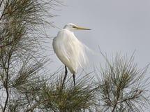 伟大的白鹭Ardea晨曲湖边中北岸NSW澳大利亚 免版税库存图片