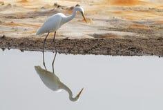 伟大的白鹭Casmerodius albus 免版税图库摄影
