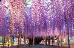 伟大的紫藤 库存照片