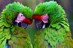 伟大的绿色军事金刚鹦鹉Ara militaris mexicana画象 库存照片