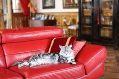伟大的缅因树狸猫 库存照片
