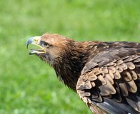 伟大的老鹰离开与它的额嘴开放寻找牺牲者 免版税库存照片