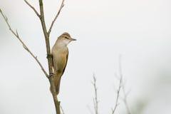 伟大的芦苇鸣鸟 免版税库存照片