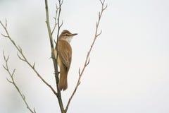 伟大的芦苇鸣鸟 库存照片