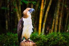 伟大的菲律宾老鹰 免版税库存照片