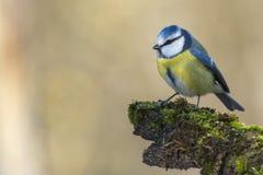 伟大的蓝冠山雀 免版税图库摄影
