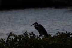 伟大的蓝色白鹭,梅里特岛全国野生生物保护区, Flori 库存照片