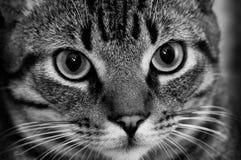 伟大的虎斑猫关闭为宠物产品 库存照片