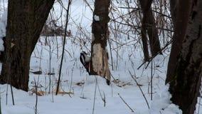 伟大的被察觉的啄木鸟偷窃树皮寻找树皮甲虫和蛀木虫的幼虫形式 股票录像