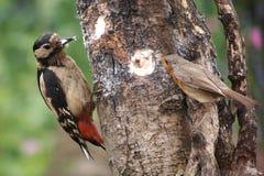 伟大的被察觉的啄木鸟和知更鸟 图库摄影