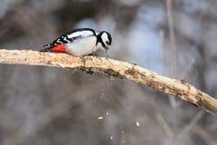 伟大的被察觉的啄木鸟四面八方抠出一个干燥分支寻找昆虫碎片飞行  图库摄影