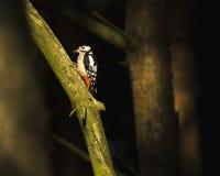 伟大的被察觉的啄木鸟在一个黑暗的森林地 图库摄影