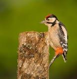 伟大的被察觉的啄木鸟鸟 免版税库存图片