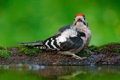 伟大的被察觉的啄木鸟,细节鸟头特写镜头画象有红色盖帽的,黑白动物在森林栖所,明白 免版税库存图片