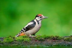 伟大的被察觉的啄木鸟,细节鸟头特写镜头画象有红色盖帽的,黑白动物在森林栖所,明白 免版税图库摄影