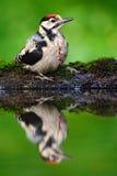伟大的被察觉的啄木鸟,细节鸟头特写镜头画象有红色盖帽的,黑白动物在森林栖所,明白 免版税库存照片